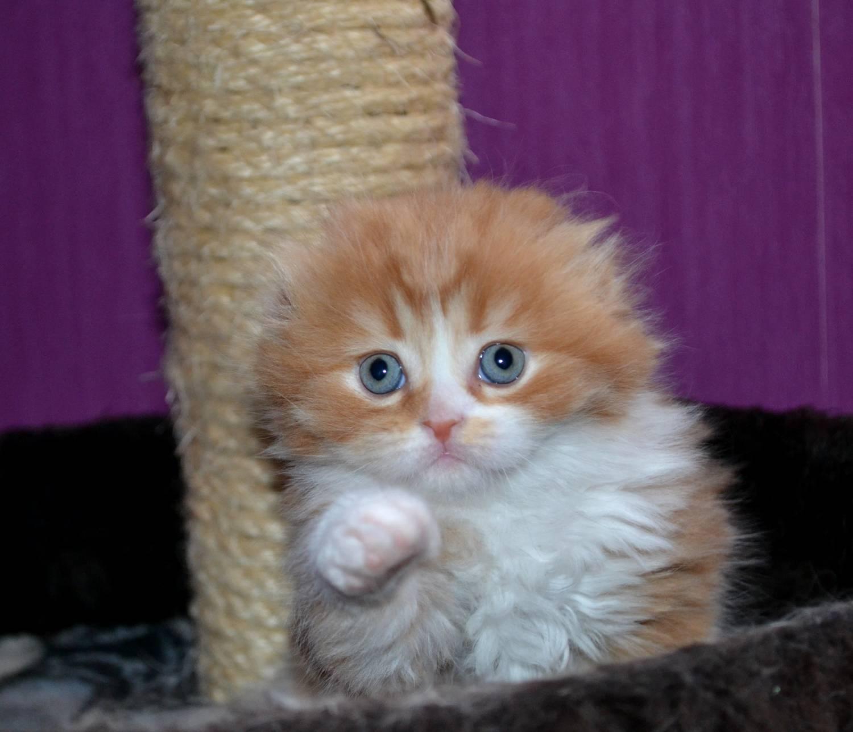 03 13 родились котята у rumfold bently of komilfo